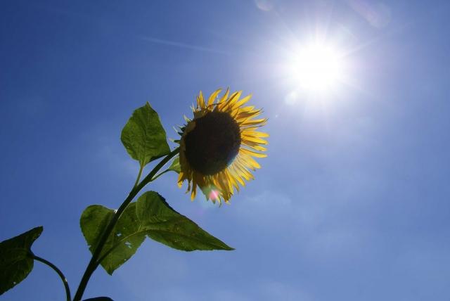 照りつける真夏の太陽とひまわり