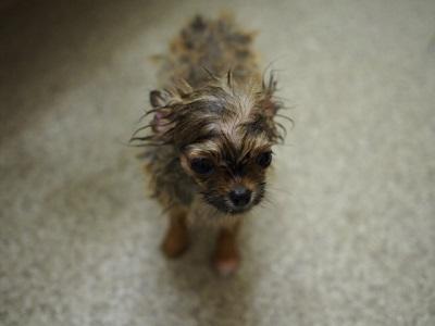 シャンプーして毛が濡れている小型犬