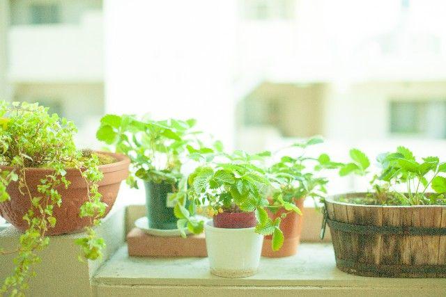 窓際に置かれた虫のいない観葉植物