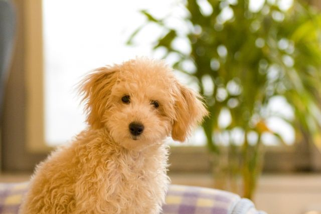 可愛らしい子犬(トイプードル)