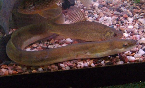 水槽の中の生きた鰻