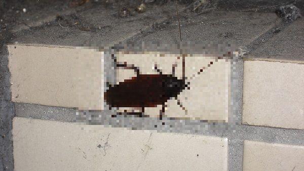 モザイク処理したタイルに張り付くゴキブリ