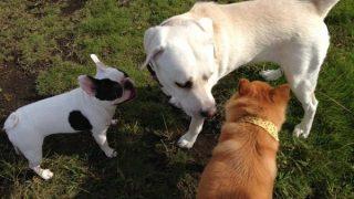 犬の平均寿命の違い~昔と現在・大型犬と小型犬~(寿命が違う理由)